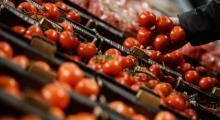 Rusya, Türkiye'den gelen domatesleri imha etti